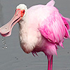 Sea spoonbill  birds puzz…